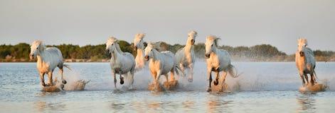 Herde von weißen Camargue-Pferden, die durch Wasser laufen Lizenzfreies Stockfoto