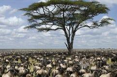 Herde von Wildebeest migrierend in Serengeti Lizenzfreie Stockbilder