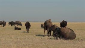 Herde von wilden Bisonen stock video