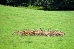 Herde von wilden Bracherotwild stockfotos