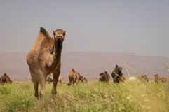 Herde von wilden Dromedaren in der grünen Wüste von Marokko stockbilder