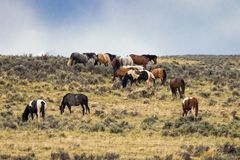 Herde von wilden Mustang-Pferden Lizenzfreie Stockfotos
