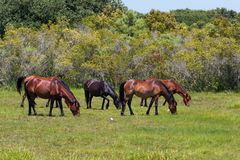 Herde von wilden Mustangs Corollas, die in der Wiese weiden lassen Stockfoto
