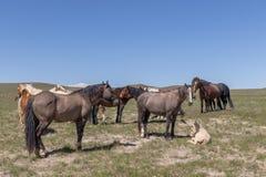 Herde von wilden Pferden in Utah stockbild