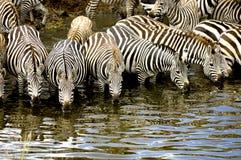 Herde von Zebra am Masai Mara Kenia Lizenzfreie Stockbilder