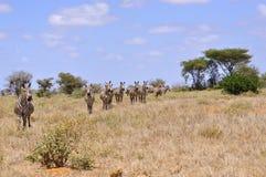 Herde von Zebras in Afrika Stockfotos
