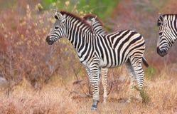 Herde von Zebras (afrikanisches Equids) Lizenzfreie Stockfotografie