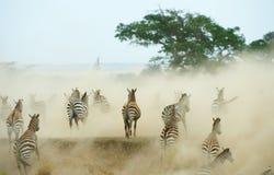 Herde von Zebras (afrikanisches Equids) Stockfotografie