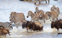 Herde von Zebras (afrikanisches Equids) Stockbild