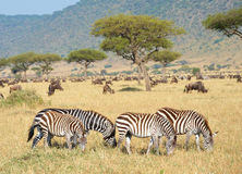 Herde von Zebras (afrikanisches Equids) Lizenzfreie Stockfotos