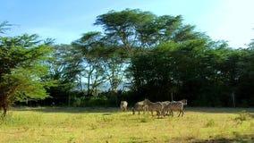 Herde von Zebras in einer Wiese stock video