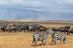 Herde von Zebras und von Gnus 3 lizenzfreie stockfotografie