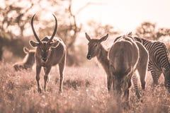 Herde von Zebras und von Waterbuck weiden lassend im Busch Safari der wild lebenden Tiere im Nationalpark Kruger, bedeutendes Rei Lizenzfreie Stockfotos