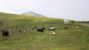 Herde von zerstreuten Kühen auf Gebirgsfeld Stockbilder