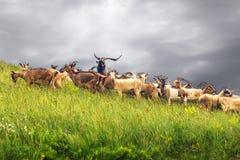 Herde von Ziegen auf dem Abhang montenegro stockfoto