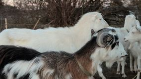 Herde von Ziegen auf Weide stock footage