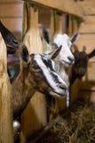 Herde von Ziegen in der hölzernen Scheune auf einem Käsebauernhof Stockbild
