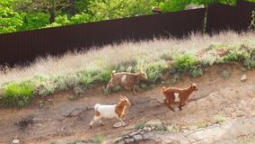 Herde von Ziegen in der Wiese im Sommer stock footage