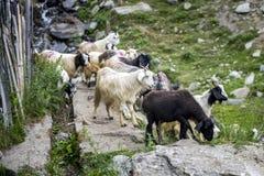 Herde von Ziegen durchstreifen die Straße der ländlichen Stadt Stockfoto