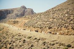 Herde von Ziegen geht auf Gebirgsstraße Lizenzfreies Stockfoto