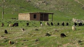 Herde von Ziegen nahe bei Hütte stock footage