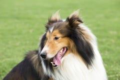 Herdeherdehund Royaltyfri Foto