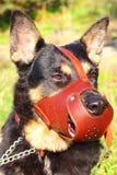 Herdehund royaltyfria foton