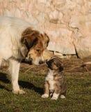 Herdehund och hennes barn Arkivfoto