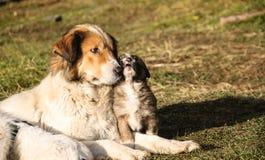 Herdehund och hennes barn Fotografering för Bildbyråer