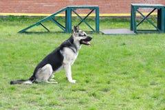 Herdehund på lekplatsen Arkivbild