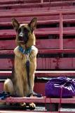 Herdehund som bevakar ryggsäcken Arkivfoto