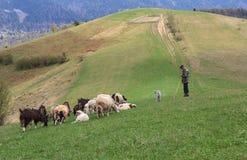 Herden betar shMezhgore, Ukraina - April 27, 2016: Herdeskrubbsår får och getter på eep och getter på Synevyrska passerar Arkivbilder