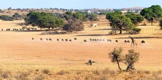 Herden des Gnus, des Gemsbok und der Giraffe, die durch Savanne mit waterhole gehen Stockbilder
