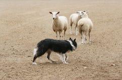 In Herden leben der Schafe Lizenzfreie Stockbilder