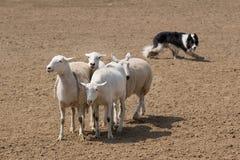In Herden leben der Schafe Lizenzfreies Stockfoto