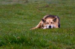 In Herden leben des Hundes stockbild