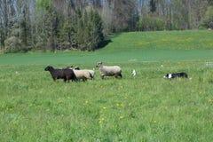 In Herden leben des Hundes bei der Arbeit Stockfotos