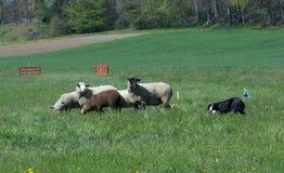 In Herden leben des Hundes bei der Arbeit Stockbild