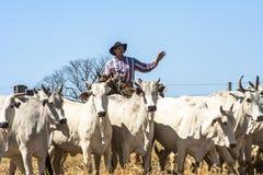 In Herden leben des Viehs Lizenzfreies Stockfoto