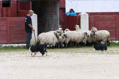 In Herden leben von Hundearbeitsschafen Stockfoto