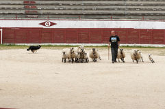 In Herden leben von Hundearbeitsschafen Lizenzfreies Stockbild