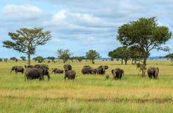 Herden von afrikanischen Elefanten im Nationalpark Serengeti Stockbild