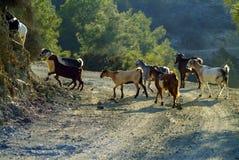 Herden von Ziegen durchstreifen den gemischten laubwechselnden und Koniferenwald in den Troodos-Bergen von Zypern lizenzfreie stockbilder