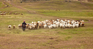 Herdenschafe durch Motorrad Lizenzfreie Stockfotografie