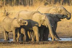 Herdentrinken des afrikanischen Elefanten Stockbild