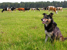 Herder. Trained dog as a herder Stock Images