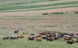 Herder av Georgia fotografering för bildbyråer