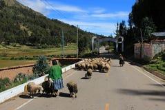 Herder die haar sheeps op Peruviaanse straat beheren Royalty-vrije Stock Afbeelding