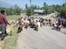 Herder die sheeps nemen Stock Foto