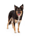 Herder en Grens Collie Crossbreed Dog Stock Afbeelding